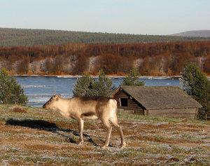 Ren invid Torneälv