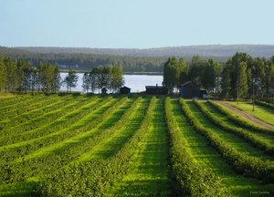 Vinbärsodlingar Armasjärvi