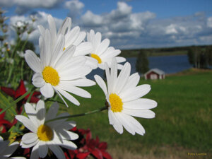 Prästkragar Tornedalen Risudden